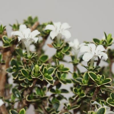 Pokojová bonsai - Serissa foetida Variegata - Strom tisíce hvězd - 4