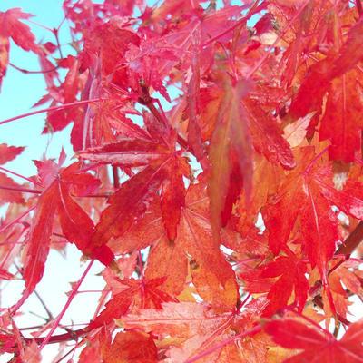 Vonkajšie bonsai - Javor dlaňolistý - 4