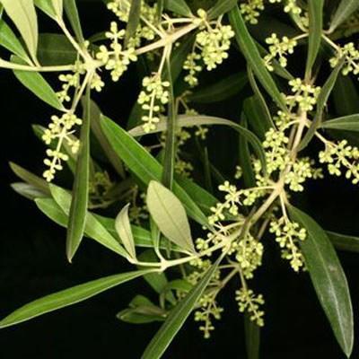Pokojová bonsai - Olea europaea sylvestris -Oliva evropská drobnolistá - 4