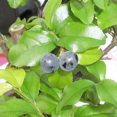 Pokojová bonsai - Sagerécie thea - Sagerécie thea - 4