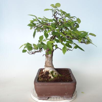 Venkovní bonsai - Zelkova - 5