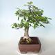Venkovní bonsai - Zelkova - 5/5