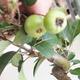 Venkovní bonsai - Malus halliana -  Maloplodá jabloň - 5/5