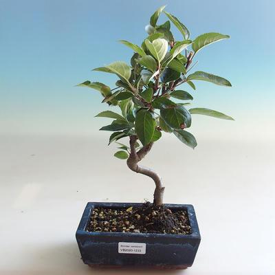 Venkovní bonsai - Malus halliana -  Maloplodá jabloň - 5