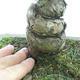 Venkovní bonsai - Pinus parviflora - Borovice drobnokvětá - 5/5