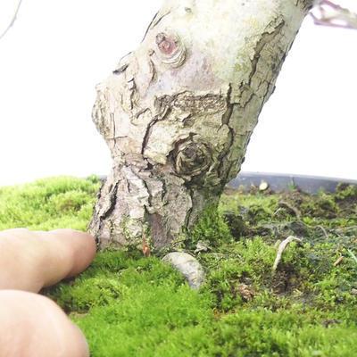 Venkovní bonsai - Hloh bílé květy - Crataegus laevigata - 5