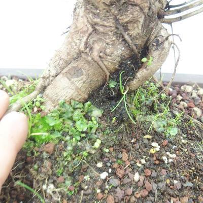 Vonkajšie bonsai -Mahalebka - Prunus mahaleb - 5