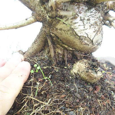Venkovní bonsai -Mahalebka - Prunus mahaleb - 5