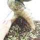 Venkovní bonsai -Mahalebka - Prunus mahaleb - 5/5