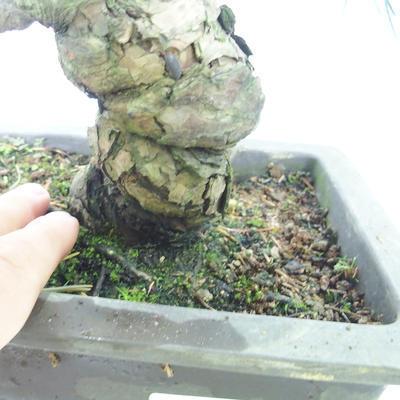 Venkovní bonsai - Pinus parviflora - Borovice drobnokvětá - 5