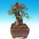 Izbová bonsai - Olea europaea sylvestris -Oliva európska drobnolistá - 5/7