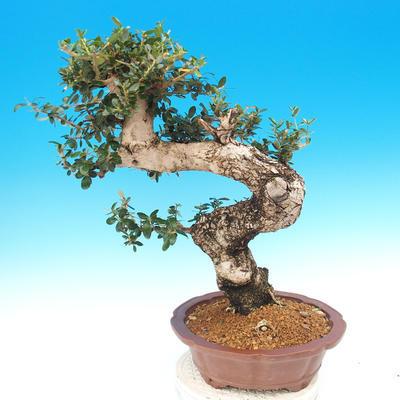 Izbová bonsai - Olea europaea sylvestris -Oliva európska drobnolistá - 5