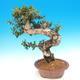 Pokojová bonsai - Olea europaea sylvestris -Oliva evropská drobnolistá - 5/7