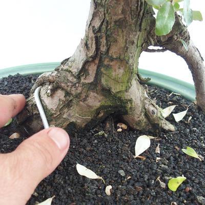 Izbová bonsai -Eleagnus - hlošina - 5