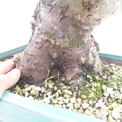 Vonkajší bonsai -Malus halliana - Maloplodé jabloň - 5