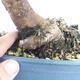 Vonkajší bonsai -Malus halliana - Maloplodé jabloň - 5/6