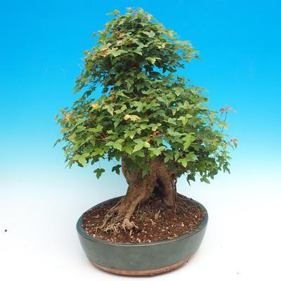 Vonkajšie bonsai - Javor Buergerianum - Javor Burgerův - 5