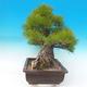 Venkovní bonsai - Pinus thunbergii - Borovice thunbergova - 5/6