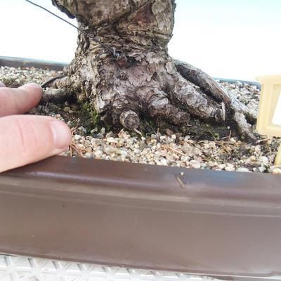Venkovní bonsai - Pinus thunbergii - Borovice thunbergova - 5