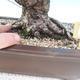 Vonkajšie bonsai - Pinus thunbergii - Borovica thunbergova - 5/5