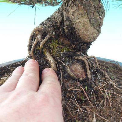 Venkovní bonsai - Pinus densiflora - borovice červená - 5