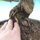 Venkovní bonsai - Pinus densiflora - borovice červená - 5/6