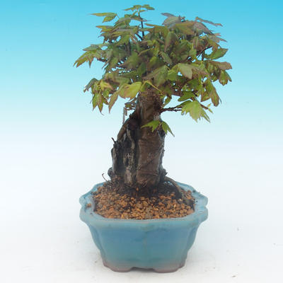 Shohin - Javor-Acer burgerianum na skale - 5