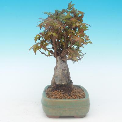 Shohin - Javor-Acer burgerianum na skále - 5