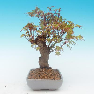 Shohin - Javor-Acer palmatum - 5