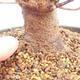 Vonkajšie bonsai - Javor Buergerianum - Javor Burgerův - 5/5