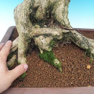 Izbová bonsai- Muraya paniculata - 5