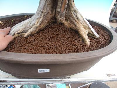 Pokojová bonsai - Muraya paniculata - 5