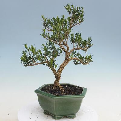 Izbová bonsai - Buxus harlandii - korkový buxus - 5