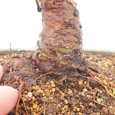 Vonkajšie bonsai - Zelkova - Zelkova Nirom - 5