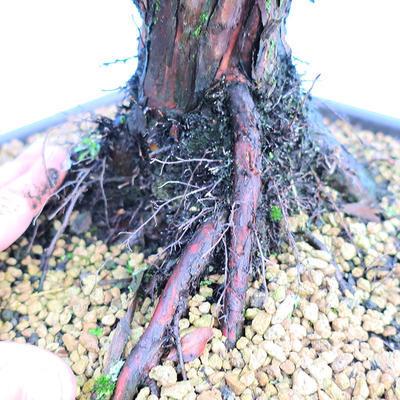 Yamadori Juniperus chinensis - jalovec - 5
