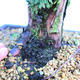 Yamadori Juniperus chinensis - jalovec - 5/6