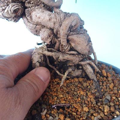 Pinus thunbergii - Borovice thunbergova - 5