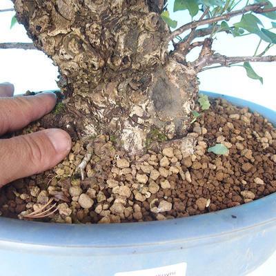 Venkovní bonsai - Japonská hrušeň NASHI - Pyrus pyrifolia - 5