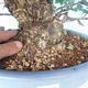 Venkovní bonsai - Japonská hrušeň NASHI - Pyrus pyrifolia - 5/6