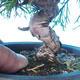 Venkovní bonsai - Juniperus chinensis ITOIGAWA - Jalovec čínský - 5/6