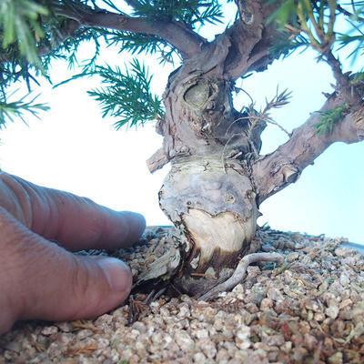Venkovní bonsai - Juniperus chinensis ITOIGAWA - Jalovec čínský - 5
