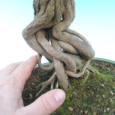 Pokojová bonsai-PUNICA granatum nana-Granátové jablko - 5