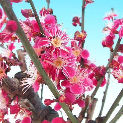 Venkovní bonsai -Japonská meruňka - Prunus Mume - 5