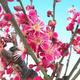 Venkovní bonsai -Japonská meruňka - Prunus Mume - 4/5