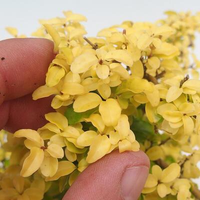 Izbová bonsai - Ligustrum Aurea - Vtáčí zob - 5