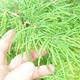 Venkovní bonsai - Pseudolarix amabilis - Pamodřín - 5/6