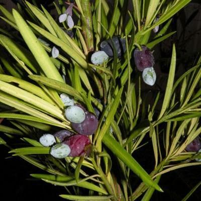 Izbová bonsai - Podocarpus - Kamenný tis - 5
