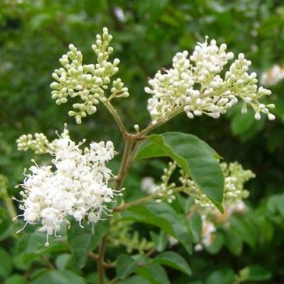 Pokojová bonsai -Ligustrum chinensis - Ptačí zob - 5