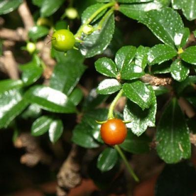 Pokojová bonsai - Carmona macrophylla - Čaj fuki - 5