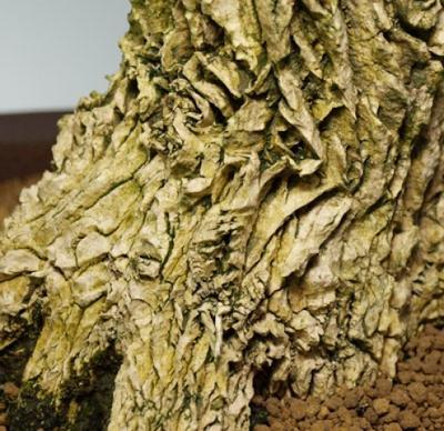 Pokojová bonsai - Buxus harlandii -korkový buxus - 5